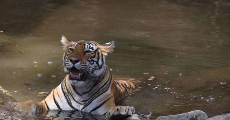 Cirkuszi tigris